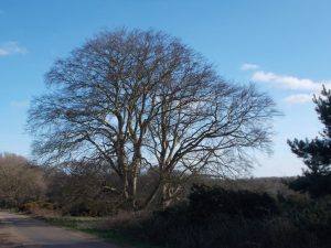 Tree in Butley Suffolk - pictuer by Eebahgum (Own work) [CC BY-SA 4.0 (https://creativecommons.org/licenses/by-sa/4.0)], via Wikimedia Commons